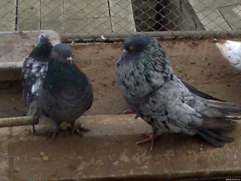 Цены на голубей с